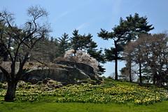 Daffodils on a Hillside (Eddie C3) Tags: newyorkcity flowers landscapes day bronx clear daffodilhill daffodils newyorkbotanicalgarden