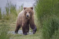 Alaska Brown Bear (Peter Stahl Photography) Tags: alaskabrownbear alaska katmai katmaialaska water outdoor bear