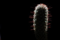 cactus light (debunix) Tags: red cactus macro succulent