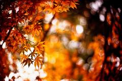 Abide with me (moaan) Tags: life leica november autumn color 50mm gold dof bokeh diary f10 momiji japanesemaple kobe utata rokko noctilux m3 hue tinted 2010 fujivelvia100 tinged rvp100 goldenyellow eventide leicam3 autumnaltints inlife leicanoctilux50mmf10 diaryofnovember gettyimagesjapanq1 gettyimagesjapanq2