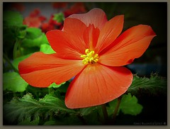 Begonia (sheribuch711) Tags: shots super ufcontest2