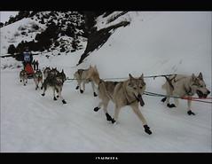 IMG_9305 (valischkas) Tags: dogs sport canon photo husky huesca nieve aragon deporte perros carrera pirineos pirena valischka