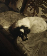the sofa (hanna.bi) Tags: venice portrait dog sofa hannabi thelittledoglaughed