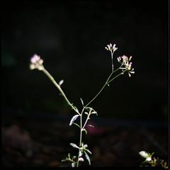 (19/77) Tags: flower slr film nature malaysia 1977 negativescan kiev88 mediumfromat kodakektacolorpro160 autaut canoscan8800f arsat80mmf28 myasin