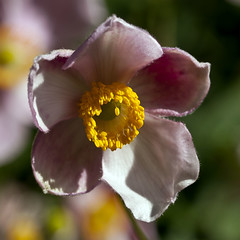 Last Call (phoGARDENtog) Tags: pink flowers macro 50mm colorado fortcollins anemone e30 csu