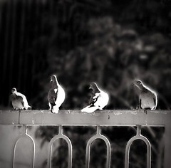 Happy {Doves on a Fence} Friday! (Violet Kashi) Tags: light bw monochrome birds dof pigeon explore frontpage doves fencefriday
