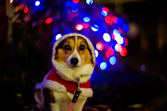 11 years (moaan) Tags: birthday leica dog night digital 50mm corgi dof bokeh walk anniversary illuminations f10 utata santaclaus noctilux welshcorgi stroll 2010 m9 colthes 11years pochiko leicanoctilux50mmf10 leicam9 gettyimagesjapanq1 gettyimagesjapanq2