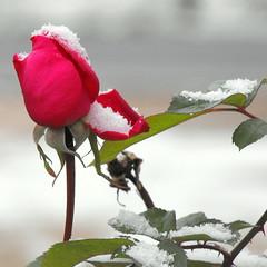 DERNIER SOUFFLE (rockpainting ☼ yvette) Tags: rose fleur updatecollection flower neige roserouge hiver explore ucreleased explored rockpaintingyvette fujifilmfinepixs1000fd artonstone