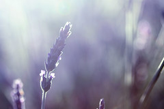 ...you could see, right through... (jewelflyt) Tags: morning light macro green lyrics purple bokeh lavender flare lighthousefamily hpps perfectpurplesaturday icouldhavelovedyou