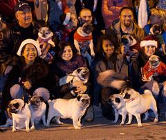 Our Pug 6-Pack (flygrl67) Tags: christmas dog holiday dogs community december pug parade pugs centralcoast slo sanluisobispo 2010 pugsinthepark slocountypugsinthepark
