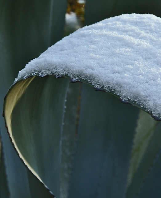 Agave (Unidentified species) (2)
