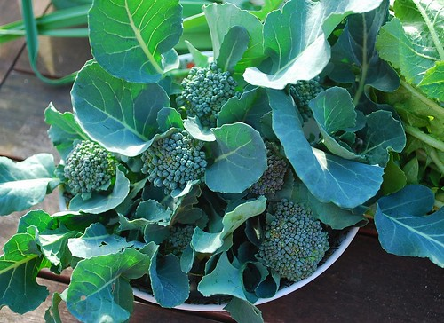 Fall Broccoli