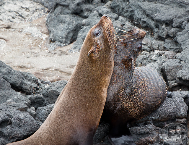 Young Fur Seals Playing