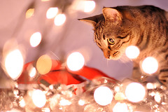 My Cats Are Playing With Christmas Lights (E.L.A) Tags: christmas xmas light pet pets holiday reflection cute beautiful animal cat season fun happy photography kitten feline funny looking bokeh tabby seasonal humor decoration kitty kittens nopeople christmaslights celebration cateyes domesticanimals curiosity domesticcat facialexpression lightingequipment bestcatphotos gettyholidays2010
