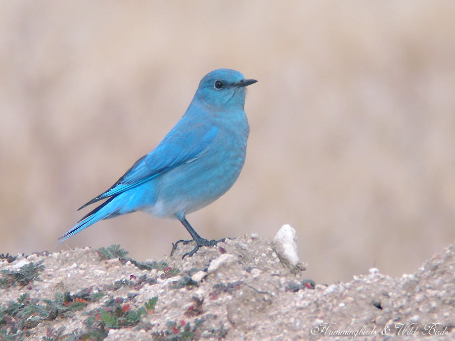 Mountain Bluebird 12101