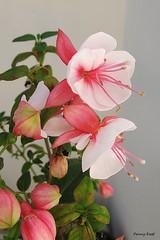 Fuchsia 'Sister Ann Hayley' (pennyeast) Tags: flower botanical fuchsia capetown papaalphaecho