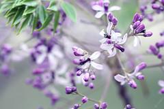 ...lost in your love... (jewelflyt) Tags: flowers macro tree lyrics purple whitecedar cantbreathe leonalewis hpps perfectpurplesaturday