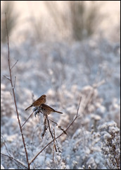 Mr. en Mrs. Reed Bunting (Ruud & Arianne NL) Tags: winter sun sunlight snow holland netherlands birds nikon couple december sneeuw nederland vogels nikkor zon brabant vogel ruud 2010 noordbrabant wintersun koppel reedbunting rietgors moergestel 70300vr d3000