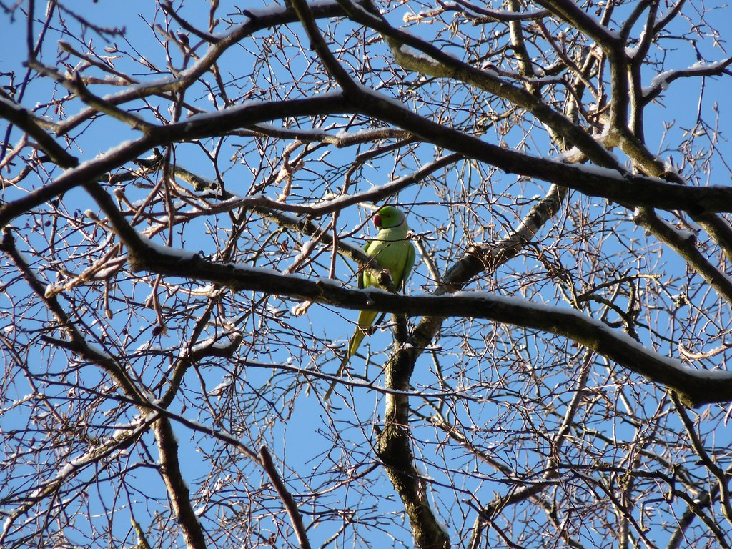 23766 - Ring Necked Parakeet, Singleton Park