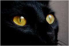 Cat Eyes 2 (xTrish) Tags: portrait pet cats black macro animal yellow closeup cat eyes chat noir witch good retrato negro bad kitty amarillo ojos gato luck salem mala compaia buena bruja suerte jeux