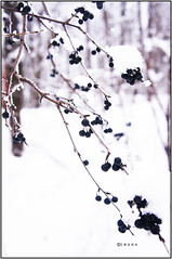 (Mio~) Tags: trees winter white snow canada black never cold tree fruit forest heart bokeh many montreal dry westmount find drying