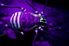Ultraviolet (Techuser) Tags: macro nature animal close nocturnal darkness arachnid uv ultraviolet harvestmen opiliones raynox canon1855is neosodacus