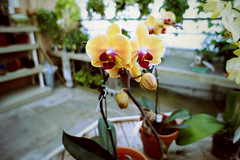 still of Orchidaceae (@clp) Tags: plant orchid flower nature colors beautiful leaves table concrete stem warm nursery phalaenopsis pots greenhouse stems buds bud hangingplants