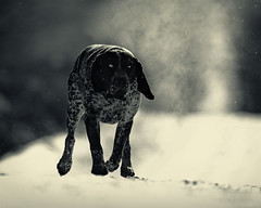 Steel - bluetick coonhound (Zach Boumeester) Tags: blue dog minnesota prime nikon hunting hound 300mm telephoto coon tick raccoon nikkor chiaroscuro f28 coonhound afi bluetick d300s