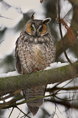 Long-eared Owl (Hard-Rain) Tags: winter snow bird nature illinois wildlife aves batavia fermilab fermi longearedowl asio strigiformes strigidae asiootus explore114 ferminationallaboratory 18strigiformes
