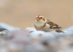 Snow Bunting - Stay Low - Explored! (Ashley Cohen Photography) Tags: winter bird nature britishwildlife monopod snowbunting northwales canon400mmf56l unitedkingdomuk canoneos7d