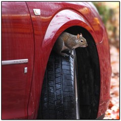 shelter from the storm (Mr. Greenjeans) Tags: car squirrel humor tire 300mm urbannature shelter peeking canonef70300mmf4556isusm mrgreenjeans gaylon gaylonkeeling