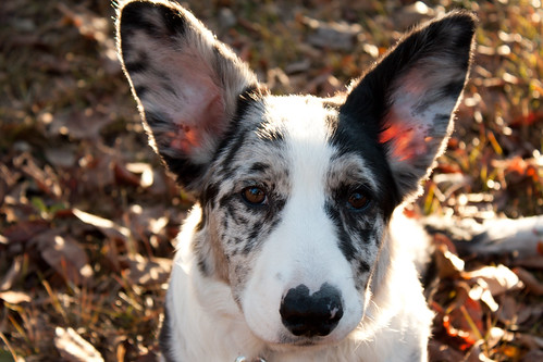 cardigan welsh corgi puppies. Byron - Cardigan Welsh Corgi