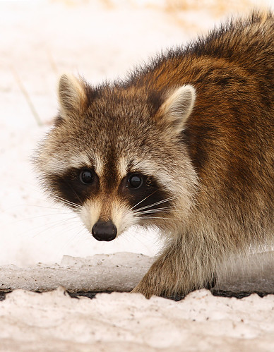 Air Raid · Vanity · Do Raccoons Hibernate?