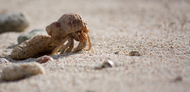 Bernard l'hermite - Seychelles, par Franck Vervial
