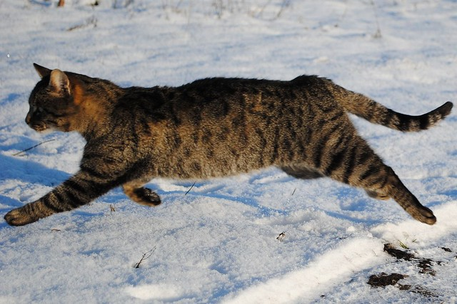 Прыгающий кот на снегу