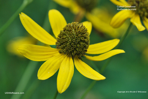 Green-headed Coneflower, Cutleaf Coneflower - Rudbeckia laciniata