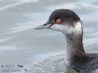 Cagarraz (Mergulhão de pescoço preto) - Podiceps nigricollis - Eared Grebe (Black-necked Grebe)