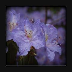 mauve rhodo (Michiel Thomas) Tags: flowers flower color colour fleur fleurs germany deutschland colorful couleurs blumen rhododendron mallow mauve colourful farbe couleur duitsland farben rhodos rodo rhododendrons hobbie ammerland rhodo badzwischenahn westerstede parkdergrten zwischenahnermeer rostrup petersfeld