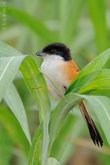long-tailed shrike (lanius schach) (punkbirdr) Tags: birds nikon birding laniusschach longtailedshrike 45revs thaibirds kusmin d300s 500mmedafsif4 tc14eii14x