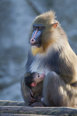 Mandrill mother and child (doevos) Tags: baby netherlands child mother nederland mandrill artis mandril zogen lactating mandrillussphinx