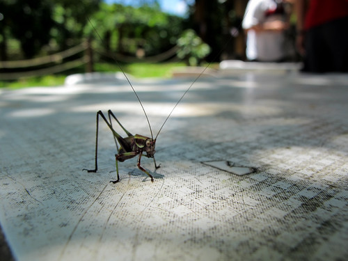 Strange Grasshopper - Iguazu Falls, Argentina