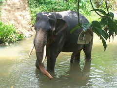 An amazing animal (kimlenoregood) Tags: elephant sorry animal that nose was is amazing leg off an millennium foundation how about but bathing he 5th clever maximus cooling elephus