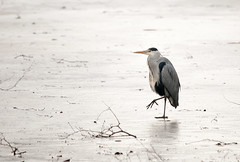 heron on ice