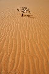 Drought- Explore (TARIQ-M) Tags: tree texture landscape sand waves desert ripple dunes dry drought ripples riyadh saudiarabia hdr app  canonefs1855        canon400d         tariqm  tariqalmutlaq kingofdesert