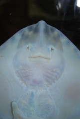 Stingray Smiley Face (Paige White) Tags: white strange smile face mouth happy aquarium eyes stingray norfolk detailed