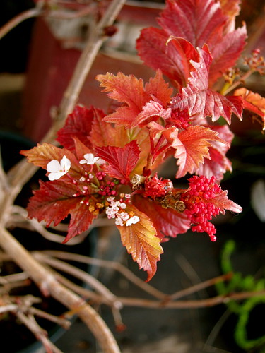 Winter Garden - viburnum