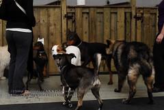 Dog horde