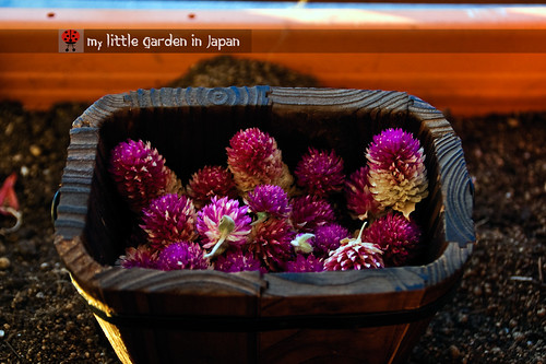 globe-amaranth-seeds-1