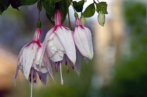 Fuchsia from my garden