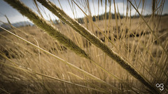 (Stromboly) Tags: travel naturaleza macro texture textura nature beauty lines yellow contrast landscape mexico lumix smooth viento panasonic amarillo pasto campo 20 yerba herb suave cuadros creamy trigo tono delgado foco hierba trigos lowsaturation parres ligero atmsfera lneas sqares 2011 hierbas cruzar ciclopista transversal pastizal lx5 sembrar tresmaras focoselectivo